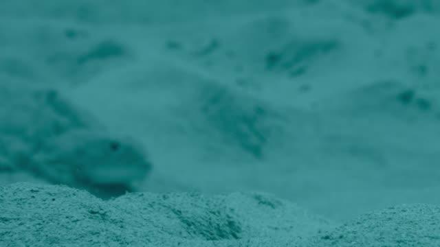 pufferfish creates courtship sand circle, japan - puffer fish stock videos & royalty-free footage