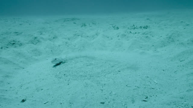 pufferfish creates courtship sand circle, japan - 科学技術点の映像素材/bロール