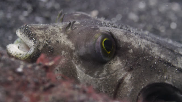 vídeos de stock, filmes e b-roll de pufferfish (arothron) rests on seabed, sulawesi, indonesia - olho de animal