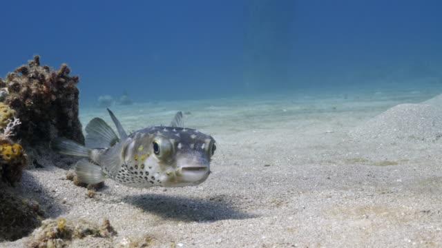 pufferfish - puffer fish stock videos & royalty-free footage