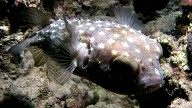 pufferfish - balloonfish stock videos and b-roll footage