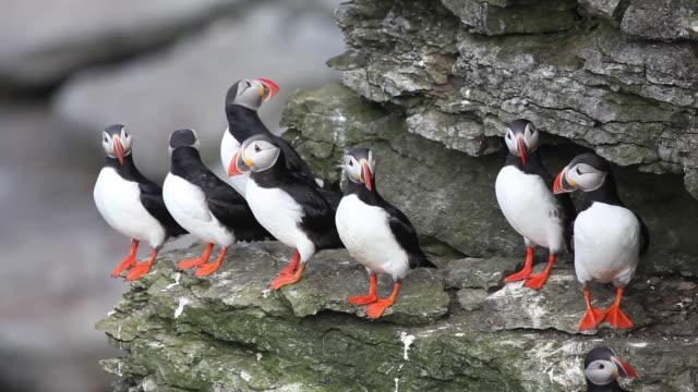 puffin birds - sea water bird stock videos & royalty-free footage