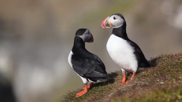 puffin birds - pair stock videos and b-roll footage