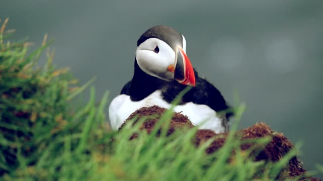 puffin in iceland, slow motion - penguin stock videos & royalty-free footage