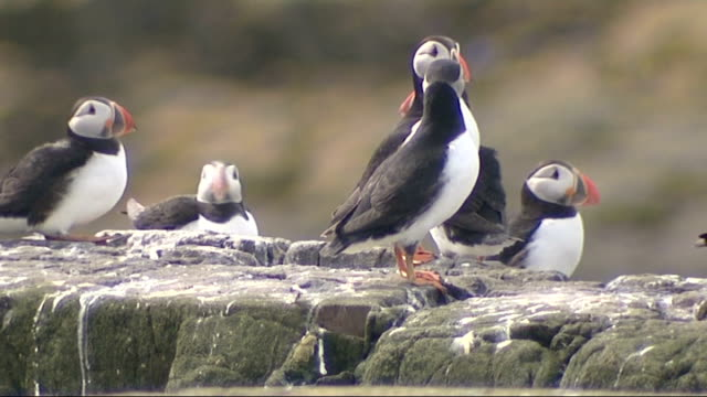 puffins and birdlife on farne islands; england: northumbria: farne islands: ext various shots of puffins on rocks and nesting on grassy bank on small... - farne islands stock videos & royalty-free footage