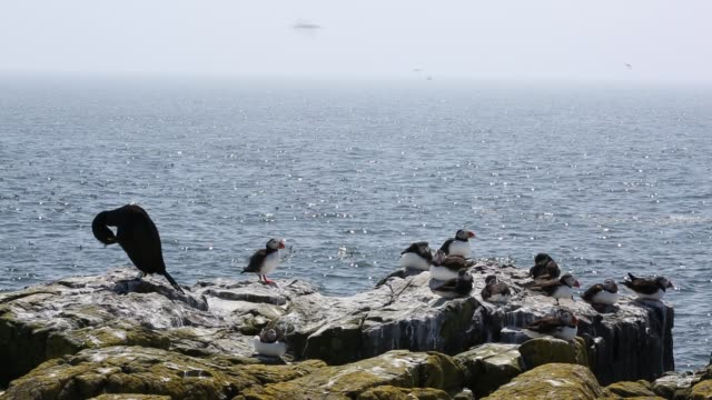 Puffins and Common Guillemots, on breeding cliffs on the Farne Islands, Northumberland, UK.