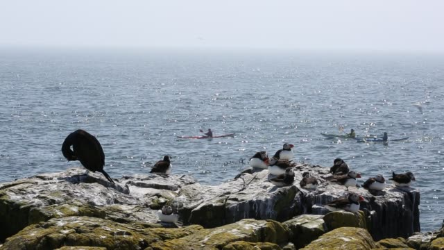 Puffins and Common Guillemots, on breeding cliffs on the Farne Islands, Northumberland, UK with sea kayakers.
