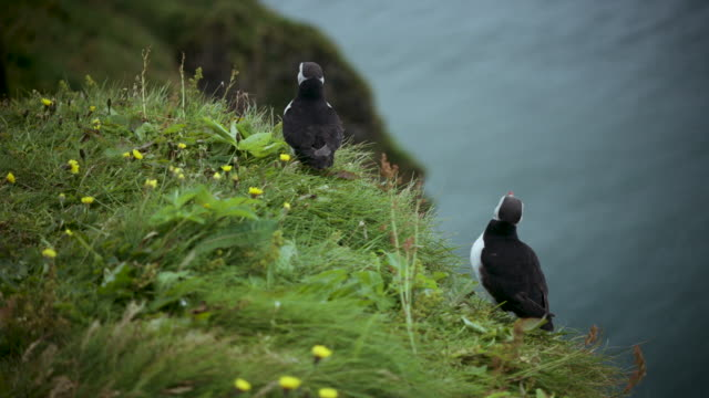 puffins on grassy cliff - zoology stock videos & royalty-free footage