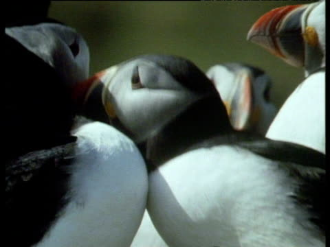 puffins petting each others bills in courtship. - maul stock-videos und b-roll-filmmaterial