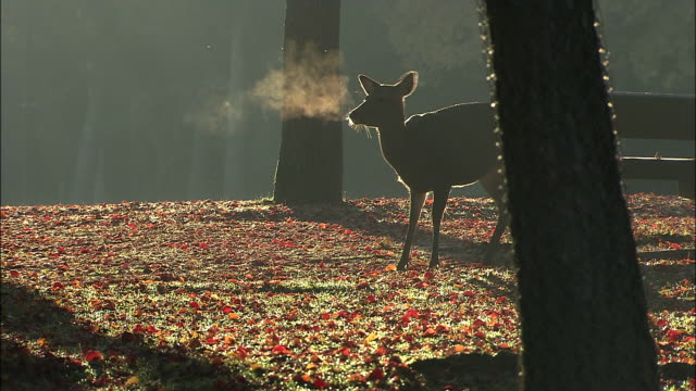 puffs of breath rise from a deer that stands in a leaf strewn park. - nara prefecture stock videos & royalty-free footage