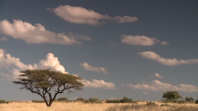 Puffs of white clouds drift over a dry savannah. Available in HD.