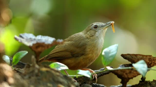 puff-throated babbler eating worm - worm stock videos and b-roll footage
