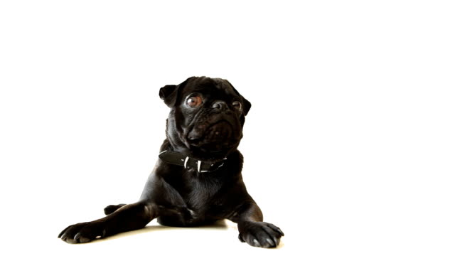 pug dog black - studio shot stock videos & royalty-free footage