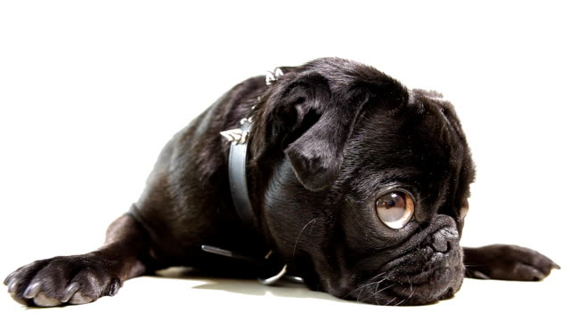 pug dog black - waiting stock videos & royalty-free footage