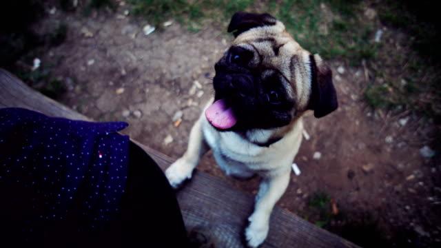 pug dog imploringly looking at camera - dog blinking stock videos & royalty-free footage