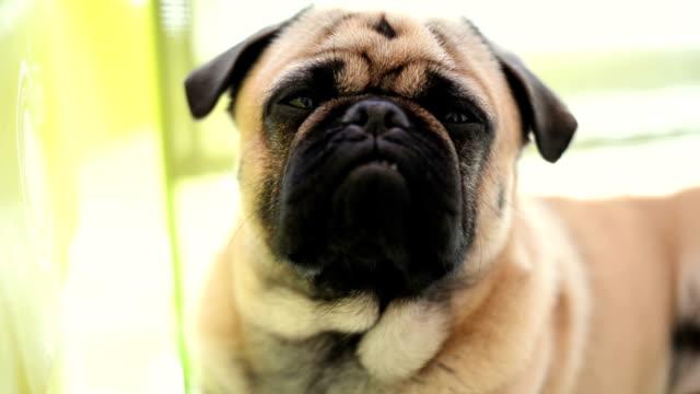 pug dog looking at camera - dog blinking stock videos & royalty-free footage