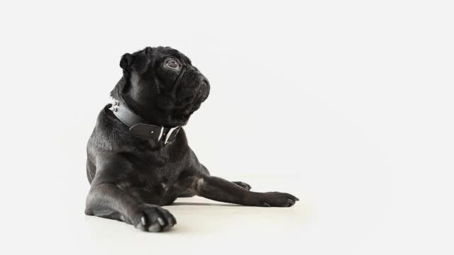 Pug Dog Pet