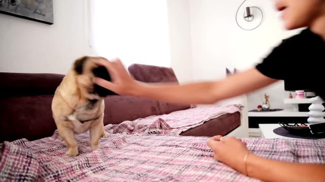 Pug dog playing.