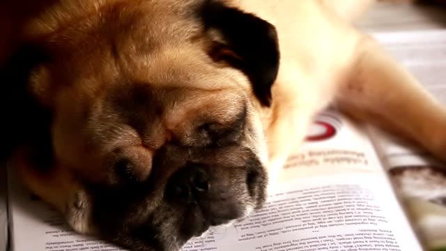 pug dog sleeping in books - educational exam stock videos & royalty-free footage