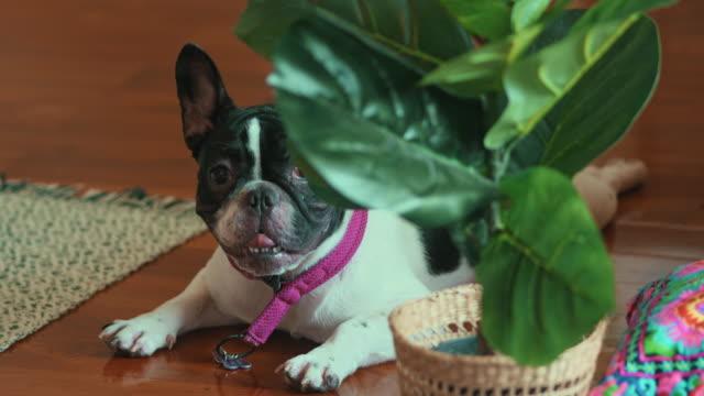 pug dog - guinzaglio per animale video stock e b–roll