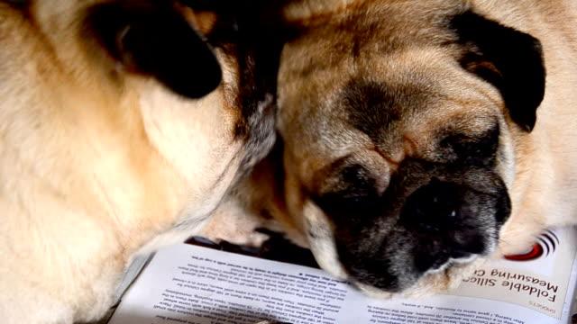 pug dog - educational exam stock videos & royalty-free footage
