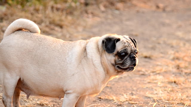 pug dog - overweight dog stock videos & royalty-free footage