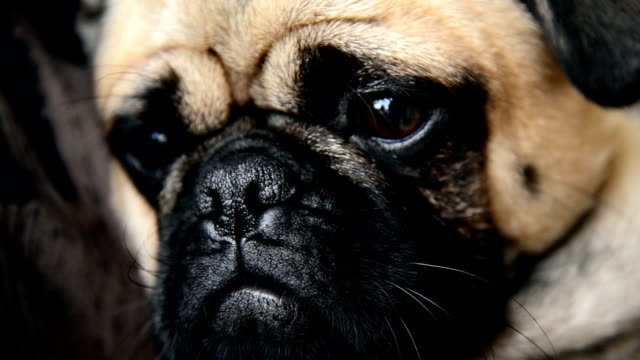 pug dog - disappointment stock videos and b-roll footage