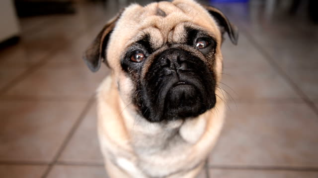 pug dog - front view stock videos & royalty-free footage