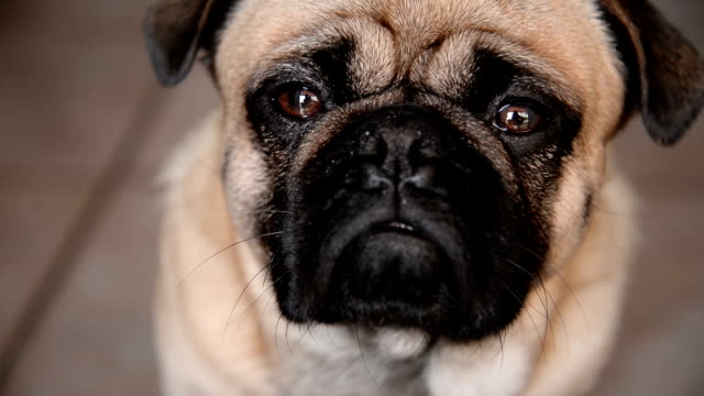 stockvideo's en b-roll-footage met pug dog - verwarring