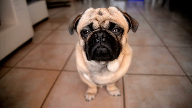 pug dog - animal head stock videos & royalty-free footage