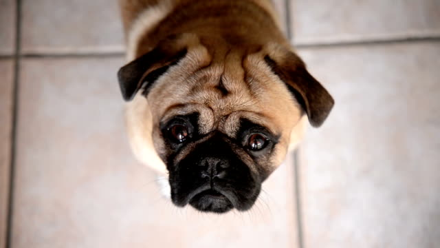 pug dog - blinking stock videos & royalty-free footage