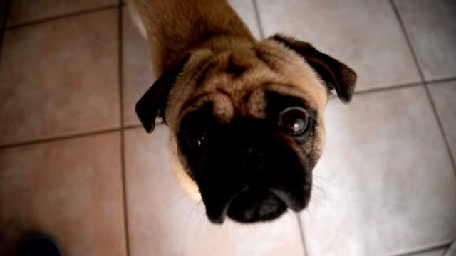 pug dog - dog blinking stock videos & royalty-free footage