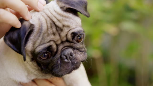 pug dog. - altruismo video stock e b–roll