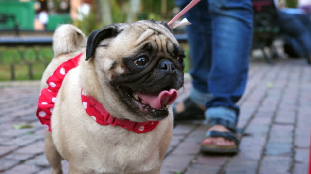 cu pug in polka dotted tutu - lead stock videos & royalty-free footage