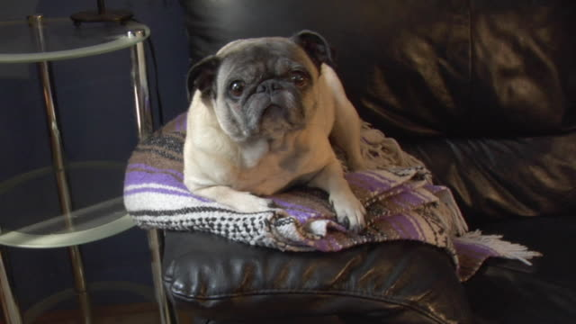 ms, pug lying on sofa, new york city, new york, usa - blanket stock videos & royalty-free footage