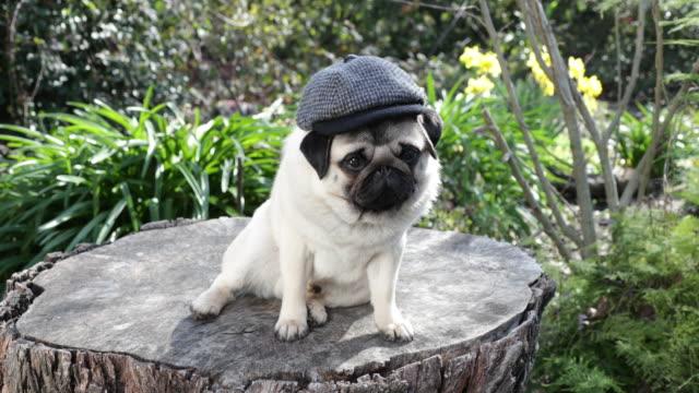 Pug on tree stump wearing newsboy cap