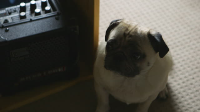pug sits on carpet - amplifier stock videos & royalty-free footage