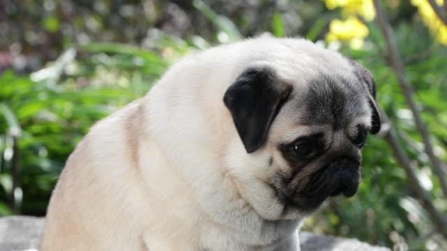 Pug sitting closeup, looking around