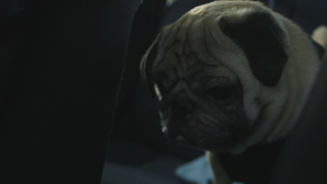 pug sitting in back seat of car - vehicle seat stock videos & royalty-free footage