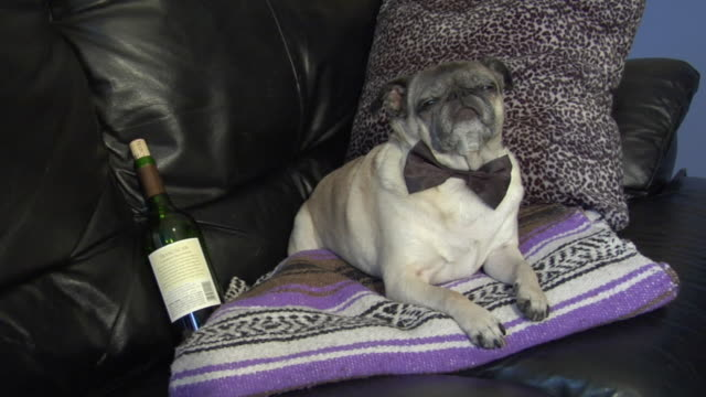 ms, pug with bow tie and wine bottle lying on sofa, new york city, new york, usa - blanket stock videos and b-roll footage