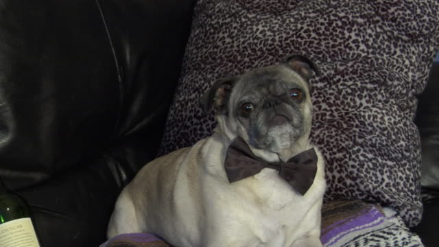 CU, ZO, MS, Pug with bow tie and wine bottle lying on sofa, New York City, New York, USA