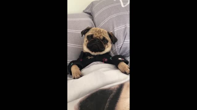 pugs are known to be very lazy and chilled out. emi the pug is definitely very chilled in this video! what could be better then laying in a comfy bed... - knähund bildbanksvideor och videomaterial från bakom kulisserna