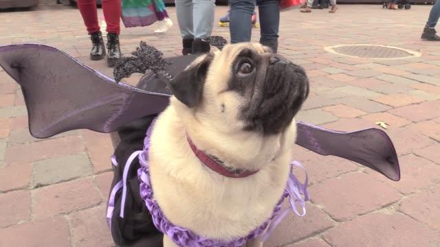 vídeos y material grabado en eventos de stock de pugs dressed in various halloween suits play during a party of fans of the pug breed called 'pug halloween party''in kiev ukraine on october 22 2016 - vestido tradicional