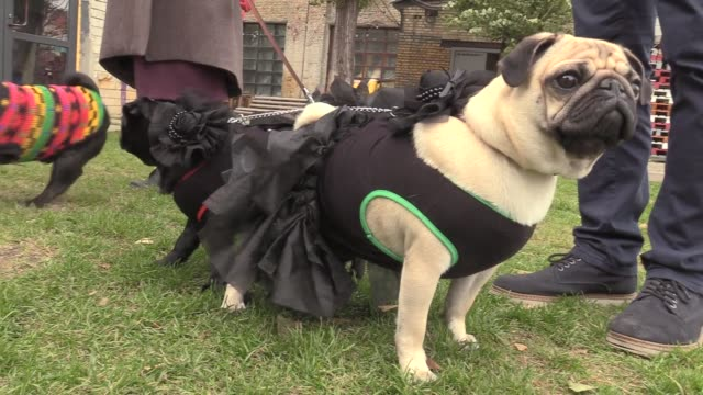 pugs dressed in various halloween suits play during a party of fans of the pug breed called 'pug halloween party''in kiev ukraine on october 22 2016 - traditionelle kleidung stock-videos und b-roll-filmmaterial