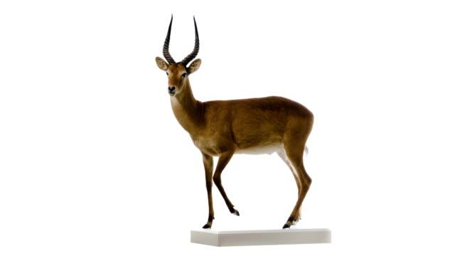 puku (kobus vardonii) - antilope stock-videos und b-roll-filmmaterial