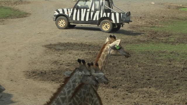 Pull Back Shot Giraffes Safari World Bangkok Thailand