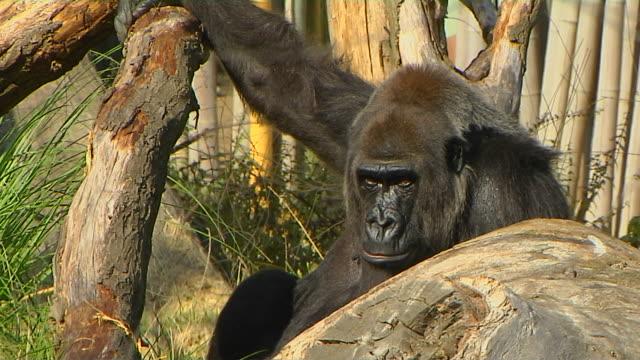 Pull Back Shot Gorilla London Zoo United Kingdom