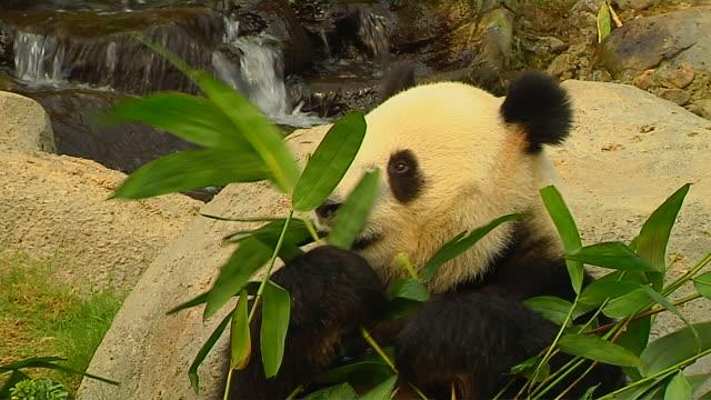 stockvideo's en b-roll-footage met pull back shot panda hong kong kwangtung china - panda