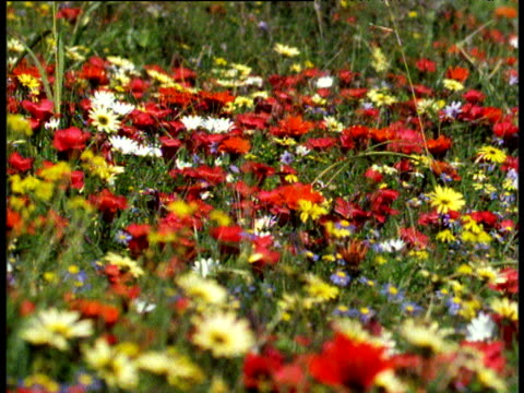Pull focus and track right over colourful veldt flowers after rains, South Africa