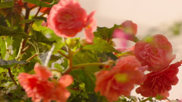 vídeos de stock e filmes b-roll de pull focus between pink flowers in a hanging basket, uk. - rack focus